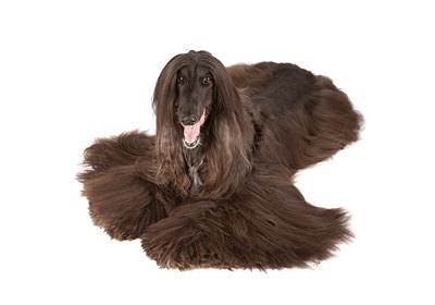 みんなの犬図鑑 - アフガンハウンド