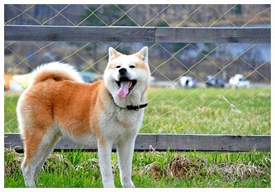 口を開ける秋田犬