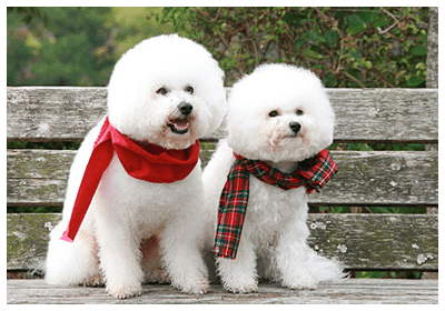 みんなの犬図鑑 , ビションフリーゼ