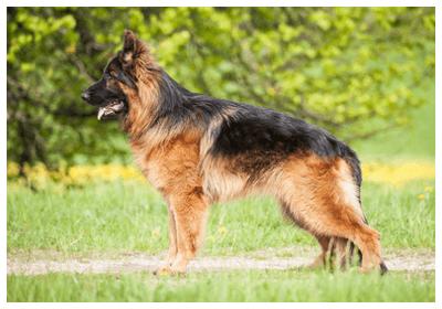 警察犬の犬種はシェパード以外は何?認定されている犬種とは | 愛犬お手入れクラブ