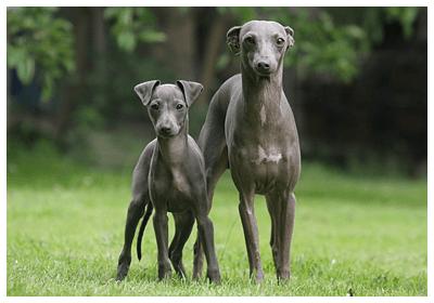 みんなの犬図鑑 - イタリアング...