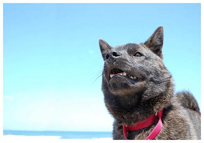 みんなの犬図鑑 甲斐犬