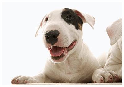 みんなの犬図鑑 - ミニチュアブルテリア