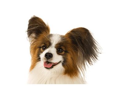 垂れ耳も標準として認められているパピヨン