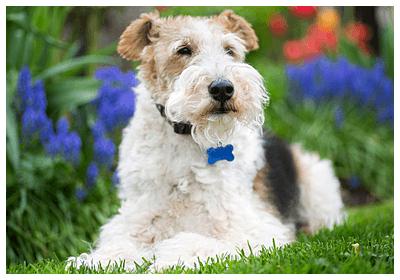 みんなの犬図鑑 - ワイアーフォックステリア