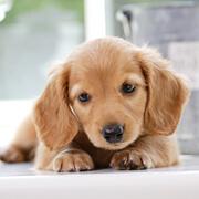 みんなの犬図鑑 - トイプードル...