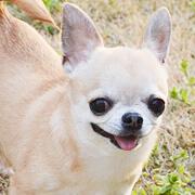 みんなの犬図鑑|超小型犬の写真...